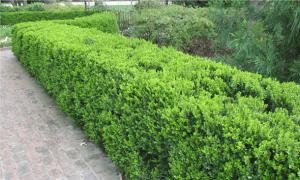 Выбор растений для создания живой изгороди